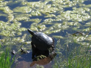 Turtle at Bridgeview Park
